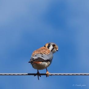 Kestrel on the Wire