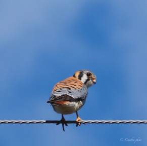 Kestrel on the Wire