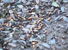 Acorns reminding me of nature's bounty