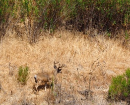 Mule deer in the field