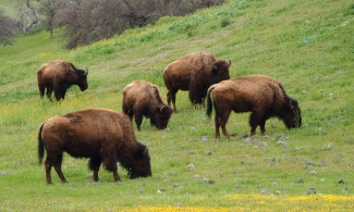 Buffalo like wildflowers too.