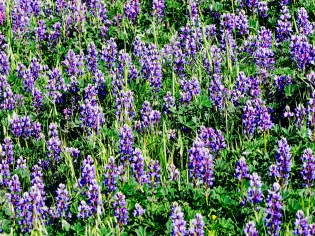 Pretty in Purple, Lupine